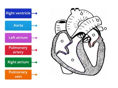 heart diagram (using Labelled diagram)