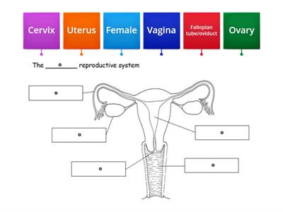 Female reproductive system word wall