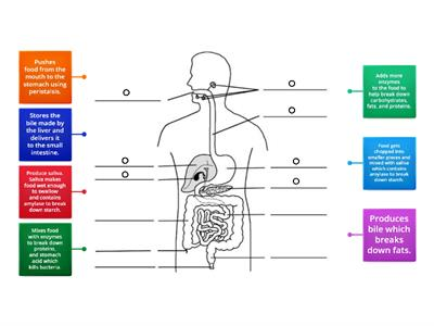 The Digestive System Functions
