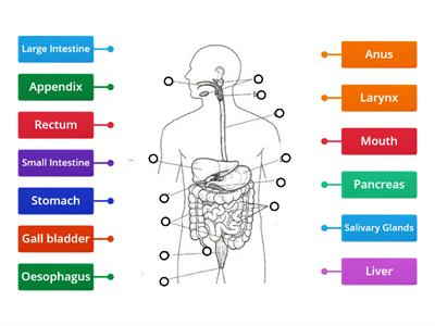 The Digestive System (10xO)