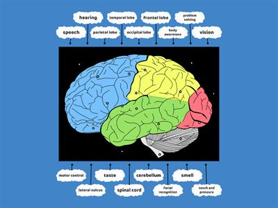 Brain areas and functions