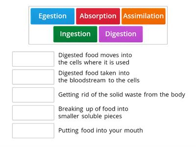 Stages of Digestion