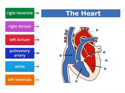 Diagram of the heart - Teaching resources