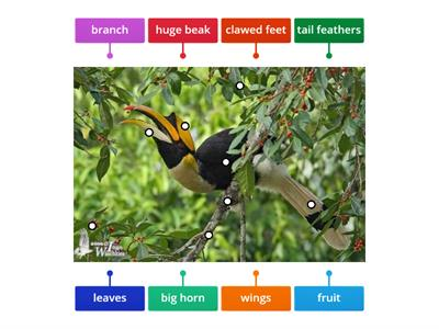 Great Hornbill- Animals of the rainforest emergent layer