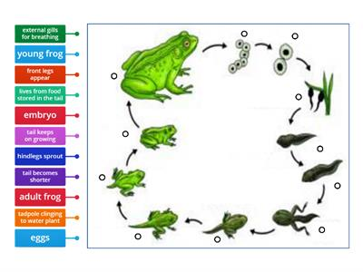 Frog life cycle Year 5