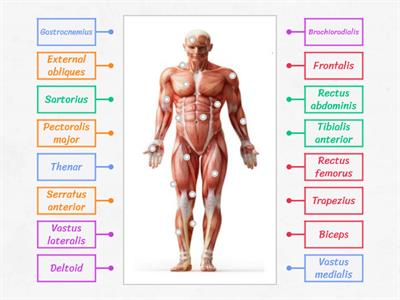 Muscles of the body - Anterior