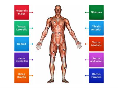 Muscular System - Anterior Labelling