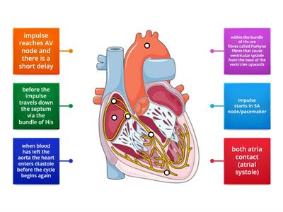 Labelled diagram of the heart - Teaching resources