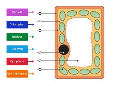 Y8 Plant Cell Structure