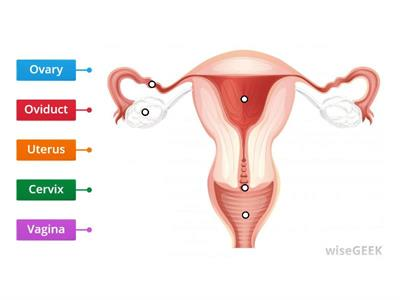 Female Reproductive System KS3