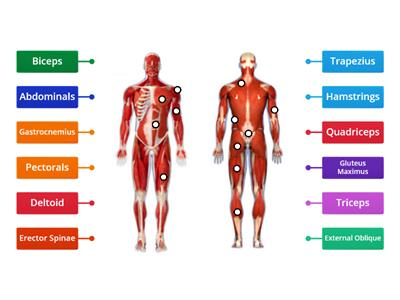 Muscular System (Unit 11 BTEC Level 1)