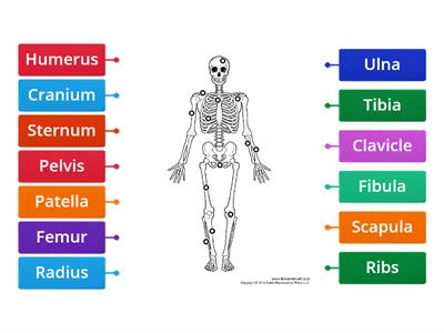 Label the Skeleton  KS2