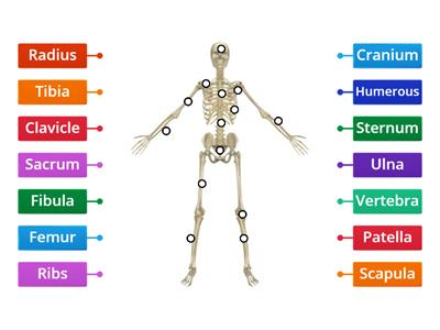 Body of Bones (Partial Skeletal System Labels)