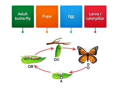 Metamorphosis:  Butterfly Life Cycle