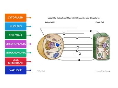 PLANT AND ANIMAL CELLS DIAGRAM