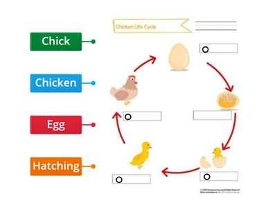 Chicken life cycle gr1