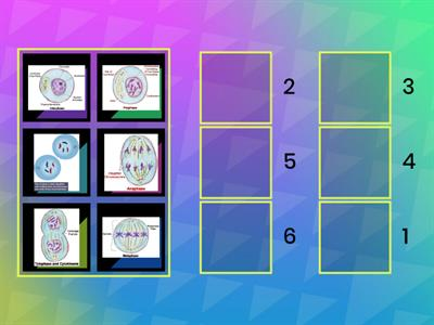 Drag the phases of mitosis to put them in the correct order, 1-6.