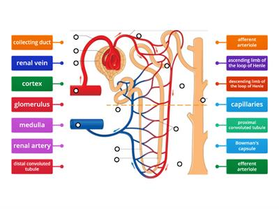 Nephron labelling