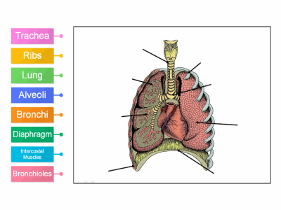 Labelled diagram Lungs