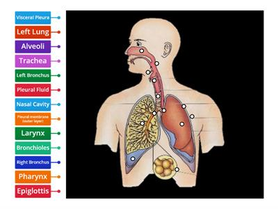 Respiratory System labelling