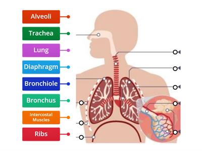 Respiratory System - label the parts - year 8