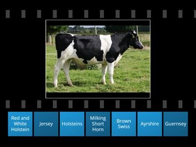 Dairy Cows Match Up