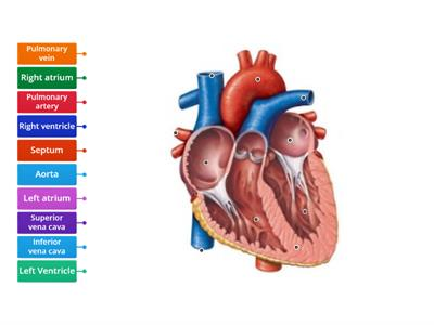 Cardiovascular system - Label the heart