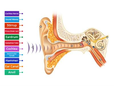 Parts of the ear - Sound