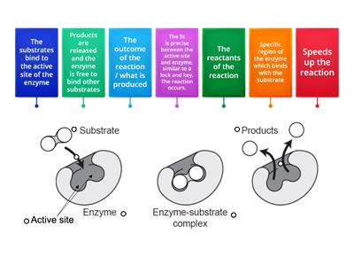 Enzymes - Lock and Key Model