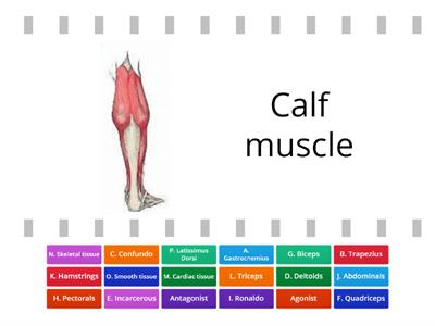 1.1b Muscles - who am I?