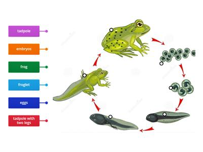 Frog life cycle  Year 2
