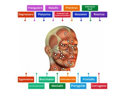 MUSCLES OF THE FACE 2