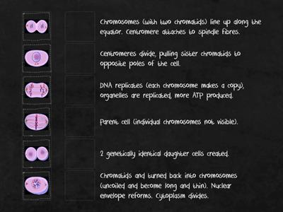 Mitosis stages