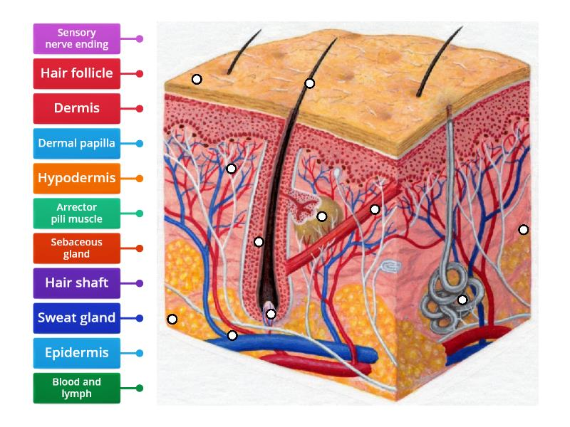 Skin diagram to label - Labelled diagramWordwall