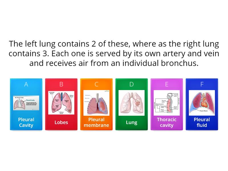 Lung Structure And Function Quiz Teaching Resource