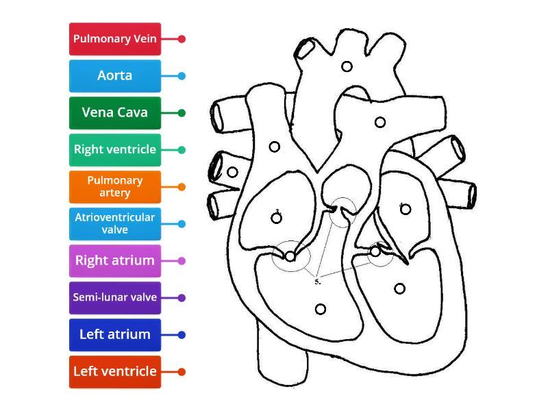 Heart Label - Labelled diagram