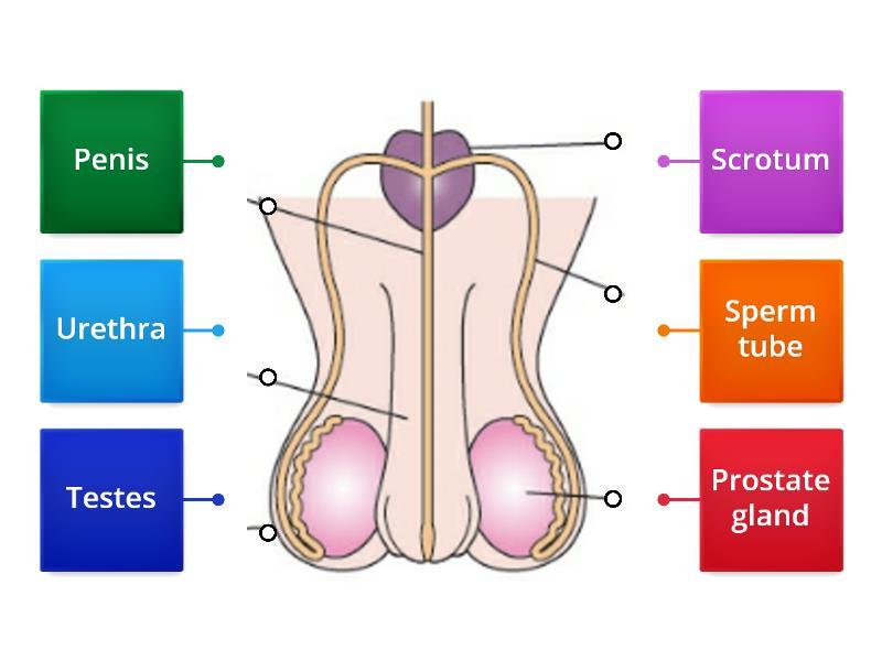 Junior cert Male Reproductive System - Labelled diagram