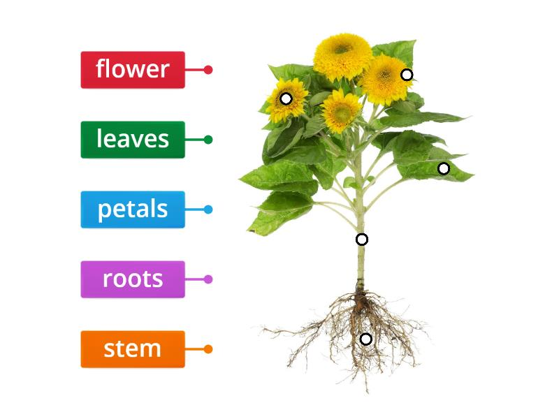 TLC: Can I label parts of a plant? - Labelled diagram