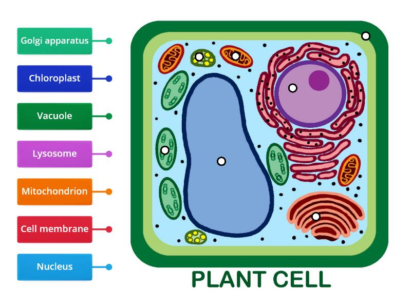 Parts of a plant cell - Labelled diagram