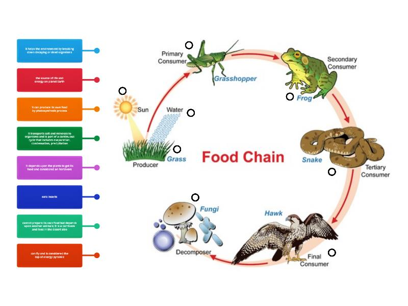 Food Chain Diagram - Labelled diagramWordwall