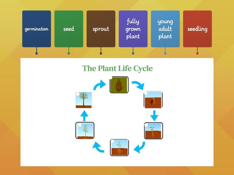 The Plant Life Cycle - Labelled diagram